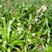 Chlorophytum krookianum