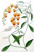 Chorizema diversifolium