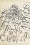 Chukrasia tabularis – Burmese Almondwood, Chickrassy