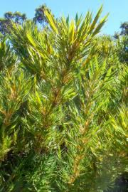 Chusquea subtessellata – Paramo Bamboo