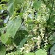 Cissampelos tropaeolifolia