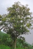 Citharexylum gentryi