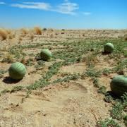 Citrullus lanatus var. citroides – Tsamma-Melone, Zitronenmelone