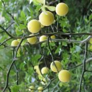 Citrus trifoliata – Chinese Bitter Orange