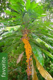 Clavija membranacea – Shiculin Pijcha