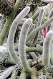 Cleistocactus brookeae subsp. vulpis-cauda