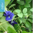 Clitoria ternatea – Butterfly Pea