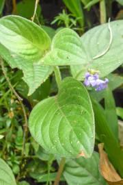 Coccocypselum lanceolatum – Baie du capitaine