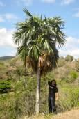 Coccothrinax fragrans – Fragrant Cuban Thatch Palm
