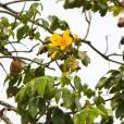 Cochlospermum vitifolium – Buttercup Tree