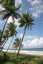 Cocos nucifera – Cocotier