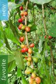 Coffea arabica – Arabica Coffee