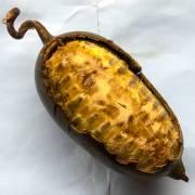 Cogniauxia podolaena – Bananenkürbis