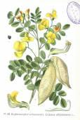 Colutea arborescens – Bladder-Senna