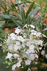 Convolvulus floridus – Canary Morning Glory