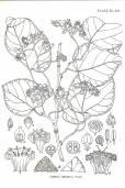 Cordia dichotoma – Fragrant Manjack, Glue Berry
