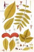 Cordia gerascanthus – Spanish Elm