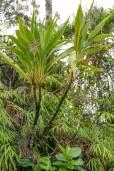 Cordyline mauritiana – Mauritius-Keulenlilie