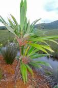 Cordyline neocaledonica – New Caledonia Palm Lily