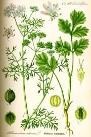 Coriandrum sativum – Coriander, Cilantro