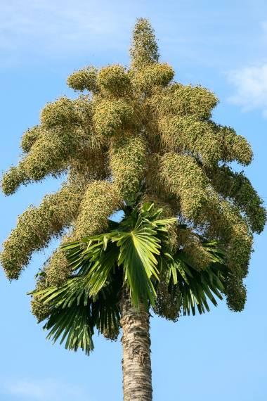 seedlings ten inches tall. One Tiger Palm Pinanga maculata