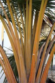 Corypha utan – Buri Palm