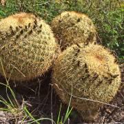 Coryphantha recurvata – Biznaga partida de espinas curvas