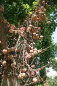 Couroupita guianensis – Bala de cañón, coco de mono