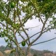 Crescentia cujete – Calabash Tree