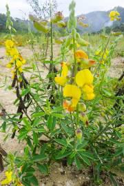 Crotalaria retusa – Yellow Rattlebox, Devil Bean