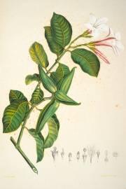 Cryptostegia grandiflora – Rubber Vine, Purple Allamanda
