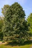 Cupressus arizonica var. arizonica – Arizona Cypress