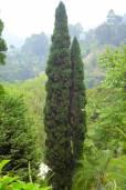 Cupressus sempervirens 'Stricta' – Slender Mediterranean Cypress