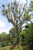 Cussonia spicata – Common Cabbage Tree