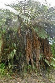 Cyathea caracasana