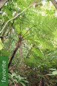 Cyathea fenicis – Iraya Tree Fern