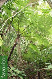 Cyathea fenicis – Helecho arbóreo de Iraya