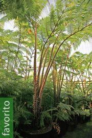 Cyathea gleichenioides – Helecho arbóreo del coral