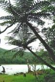 Cyathea lepifera – Flying Spider-monkey Tree Fern
