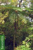 Cyathea loheri – Helecho arbóreo de Loher