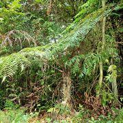 Cyathea podophylla