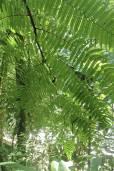 Cyathea schiedeana