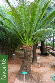 Cycas chamaoensis – Chamao Sago