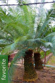 Cycas clivicola subsp. clivicola – Mountain Sago