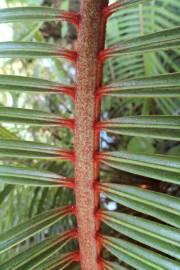 Cycas ferruginea – Rusty Hair Sago