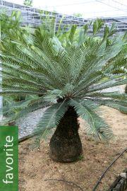 Cycas hongheensis – Blue Hong He Sago