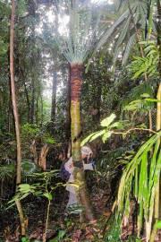 Cycas macrocarpa – Fern Sago