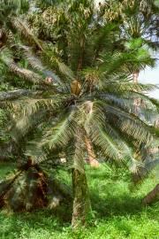 Cycas pectinata – Himalayan Sago