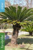 Cycas revoluta – King Sago