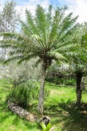Cycas seemanii – Seeman's Sago